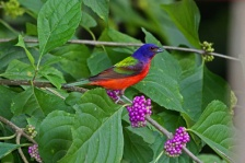 painted-bunting-on-beauty-berry-by-roger-clark